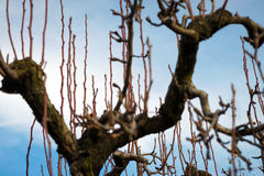 Tree to be pruned. Fruit tree not yet pruned in winter Royalty Free Stock Photo
