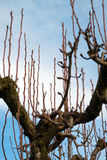 Tree to be pruned. Fruit tree not yet pruned in winter Royalty Free Stock Images