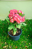 Tree to the prosperity of the Chinese people. Crown of thorns flower. (Euphorbia milli Desmoul royalty free stock images