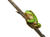 Tree toad Royalty Free Stock Photography