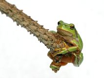 Tree toad frog Royalty Free Stock Photos