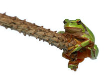 Tree toad frog Royalty Free Stock Photo