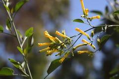 Tree tobacco Nicotiana glauca flowers. Flowers of the tree tobacco Nicotiana glauca Royalty Free Stock Photography