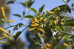 Tree tobacco Nicotiana glauca flowers. Flowers of the tree tobacco Nicotiana glauca Stock Images