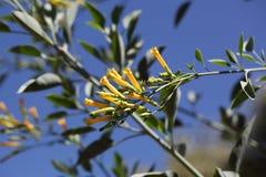 Tree tobacco Nicotiana glauca flowers. Flowers of the tree tobacco Nicotiana glauca Stock Photo