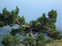 Tree on the top  above the sea Royalty Free Stock Image