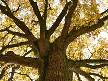 Tree top in autumn Royalty Free Stock Image