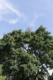 Tree top with blue sky Royalty Free Stock Image