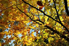 Tree top with bright yellow leaves Stock Photos