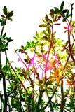 Frangipani tree top double exposure stock images