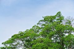 Large Tree Top with Green Leaves and Branches Against Blue Sky. Tree Top with Green Leaves and Branches Against Blue Sky royalty free stock images