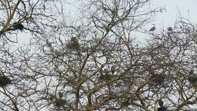 Tree Top Heron Rookery. Great Blue Herons at their nests in a large, tree top rookery stock video