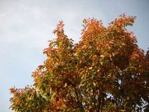 Autumnal red royalty free stock image
