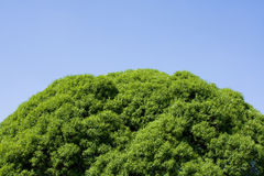 Tree top leaves on blue sky Stock Image