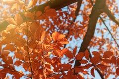Tree top - leaves illuminated by autumn sunlight Stock Photos