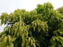 Mango leaves, branches of mango tree, green leaves of mango stock images