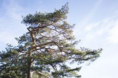 Tree top on a sunny day Royalty Free Stock Image