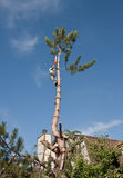 Tree topping and Removal. Residential tree trimming, topping and removal Stock Photography