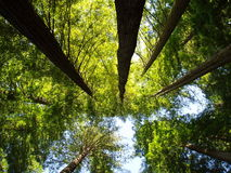 Tree Tops. Taken looking up at the tops of Redwoods in Northern CA Stock Image