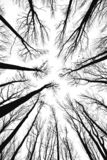 Tree Tops. Vertical view of bare treetops in black and white Stock Photo