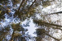 Tree tops against a blue sky. In wintertime Stock Image