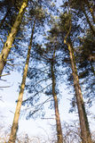 Tree tops against a blue sky. In wintertime Royalty Free Stock Image
