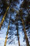 Tree tops against a blue sky. In wintertime Stock Photos