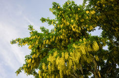 Tree tops against a blue sky  with yellow flowers Stock Photography