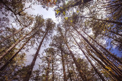 Tree tops. Alpine forest at an altitude of over 2,000 meters Stock Images