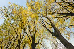 Tree tops with already yellowed leaves silhouetted against the b. Lue sky. It is a sunny day in the beginning of the Dutch fall season stock images