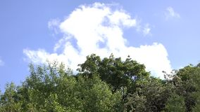 Tree tops blowing in the wind. With backdrop of blue sky and clouds stock video footage