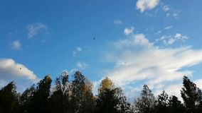 Tree tops and blue sky. Birds fly stock footage