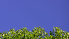 Tree tops and blue sky. Lower third shot of fresh green tree tops swaying in the wind against clear blue sky with plenty of room for text or graphics stock footage