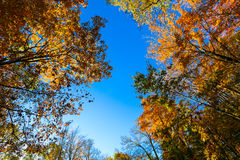 Tree Tops and Blue Sky. Top of colorful fall trees in front of a blue sky Royalty Free Stock Photo