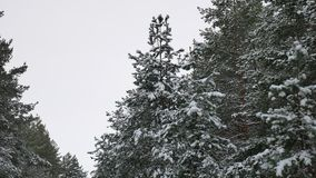 Tree tops christmas of the trees in the snow Winter beautiful forest nature landscape stock video
