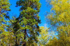 Tree tops with colorful leaves under blue sky in russian reserve forest in autumn. Stock Photos