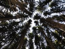 Tree tops in the coniferous forest Royalty Free Stock Photography