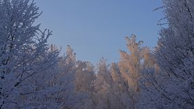 Tree tops covered with frost low angle view. Beautiful tree tops and brunches covered with white frost with birds sitting on them low angle shot against clear stock video footage