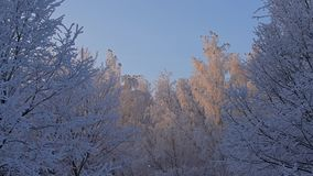 Tree tops covered with white frost low angle view. Beautiful tree tops and brunches covered with white frost with birds sitting on them low angle view against stock video