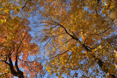 Tree tops in fall colors. Royalty Free Stock Image