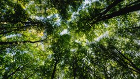 Tree tops in forest. High tree tops in forest stock images