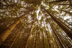 Tree tops in forest. Sunlight through tree tops in leafy green forest Stock Photo