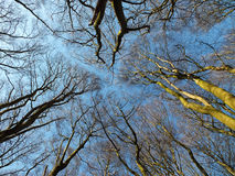 Tree tops looking upwards in a forest canopy in beech woodland royalty free stock images