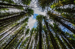 Tree tops. Low angle view of tree tops in a forest stock photos