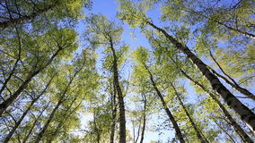 Tree tops in peaceful blue sky. Summer forest with green tree tops in blue sky stock footage