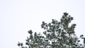 Tree tops pine nature forest christmas tree snow winter forest beautiful landscape stock video footage