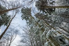 Tree tops seen from below. Snowy Tree tops seen from below, Poiana Brasov, Romania, Europe royalty free stock photos