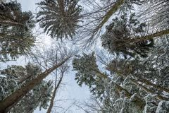 Tree tops seen from below. Snowy Tree tops seen from below, Poiana Brasov, Romania, Europe royalty free stock photo