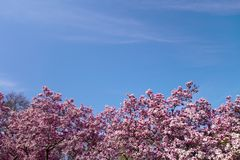 Pink fuchsia spring tree flower blossoms with blue sky. Tree tops and sky in the spring with pink flower tree blooms stock photography