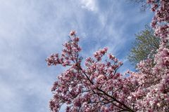 Tree tops and sky in the spring with pink flower tree blooms. Pink fuchsia spring tree flower blossoms with blue sky stock images